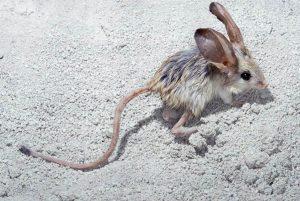 Presentan los animales con las colas más largas del mundo
