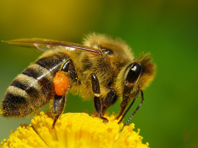 Científicos crean abeja robótica que poliniza como una real ...