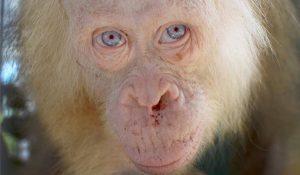 Sociedad protectora de animales rescata a una orangutana albina