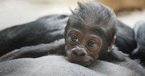 Ginecobstetras ayudaron a gorila a dar a luz en zoológico de Filadelfia