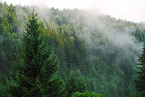 El extraño caso del pino que se inclina hacia el ecuador