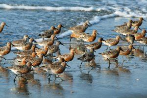 06 de septiembre: Día Mundial de Aves Playeras