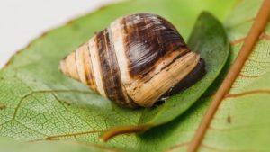 Muere George, el último caracol de su especie, tras 14 años de vida solitaria