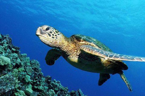 Tortugas marinas: navegantes milenarias