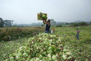 Agricultores en Táchira usan bueyes para trasladar sus cosechas por la falta de gasolina