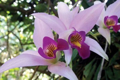 Flor de extraordinaria belleza, cuyo nombre posee las cinco vocales: Orquídea