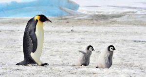 Científicos descubren que el excremento del pingüino rey produce gas hilarante!