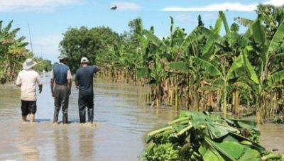 Zulia: Sembradíos de plátanos bajo el agua