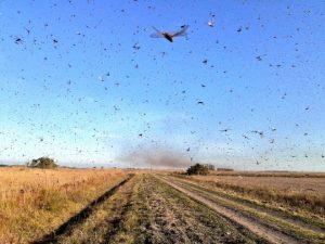 Brasil declara emergencia ante posible llegada de una plaga de langostas
