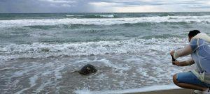 Oceanografic libera su tortuga número 500, rescatada tras tragar plástico con una grave fractura de caparazón
