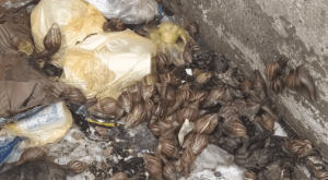 Presencia de caracoles africanos causa angustia en Cojedes