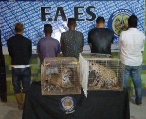Cinco personas son capturadas en Barinas por contrabando de jaguares en frontera con Colombia