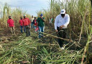 El estado Zulia producirá 60 millones de kilos de caña de azúcar
