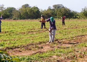 Mara cosecha 1,6 toneladas de frijol