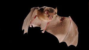 El coronavirus tiene más de 40 años afectando a los murciélagos