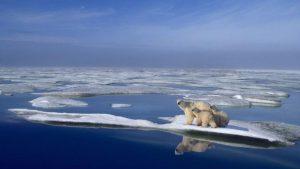 Cambio climático extinguiría a los osos polares para el 2100