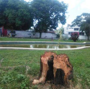 Talaron árboles sauces llorones en Plaza Las Tres Gracias en Caracas