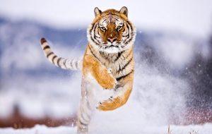 Empleada de zoológico fallece, tras ser atacada por una tigresa siberiana