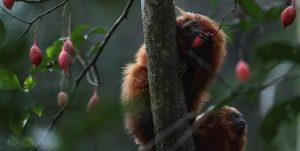 Río de Janeiro crea un puente para preservar a su mono más simbólico