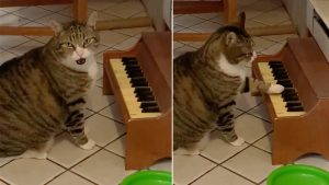 Un felino toca el piano, para exigir la cena