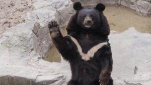 Vídeo: El oso que se atoró, pero no es Winnie Pooh