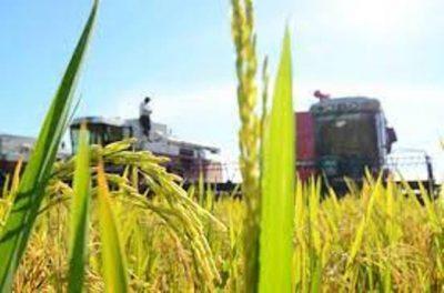 33 mil hectáreas de arroz Paddy se cosecharán en Guárico