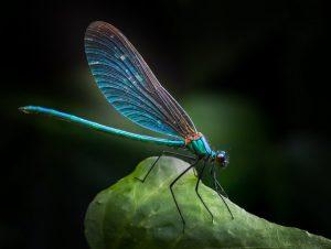 Las libélulas están perdiendo su color y dificultando su apareamiento debido al calentamiento global